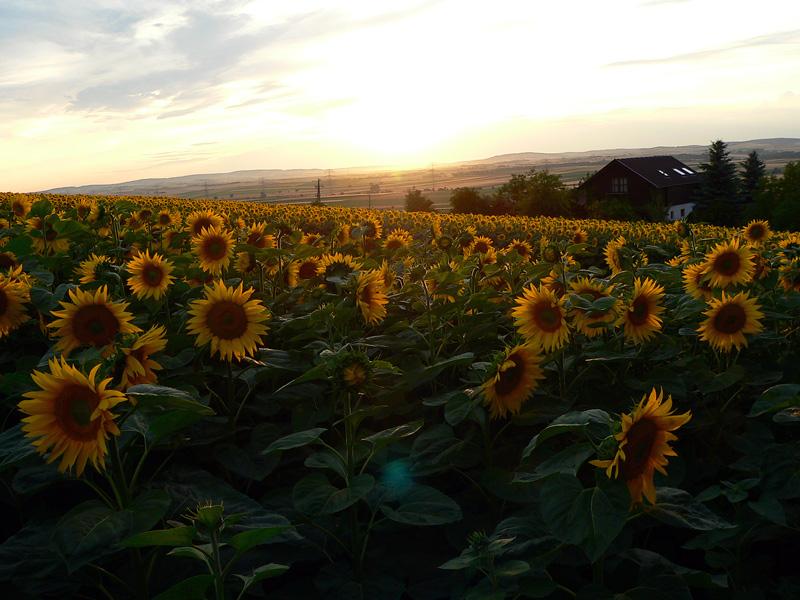 Sonnenblumenfeld am Abend