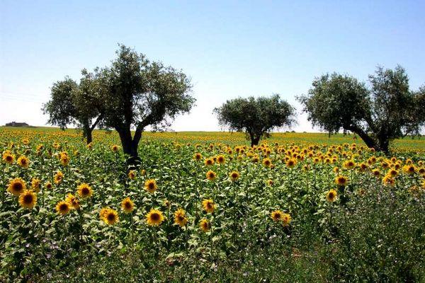 Sonnenblumenfeld bei Ferreira