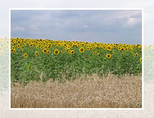 *** Sonnenblumenfeld ***
