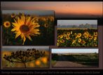 Sonnenblumenfeld III