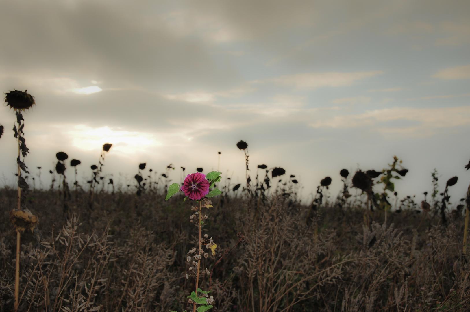 Sonnenblumenfeld im Herbst