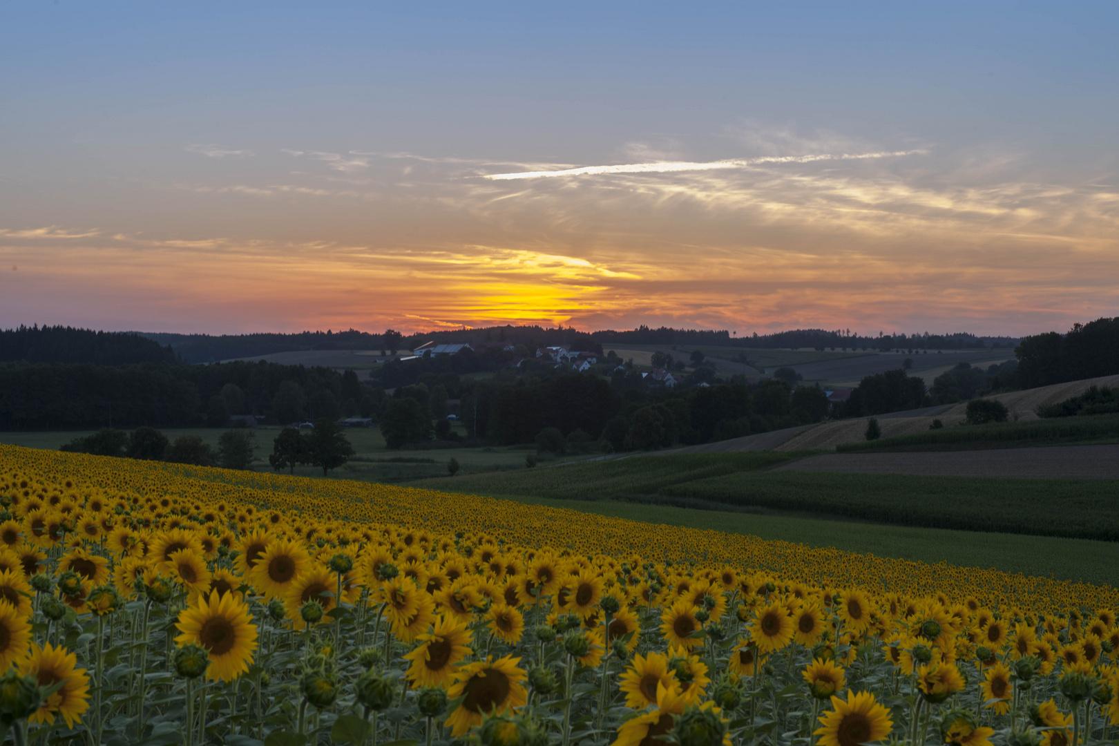 Sonnenblumenfeld im SU