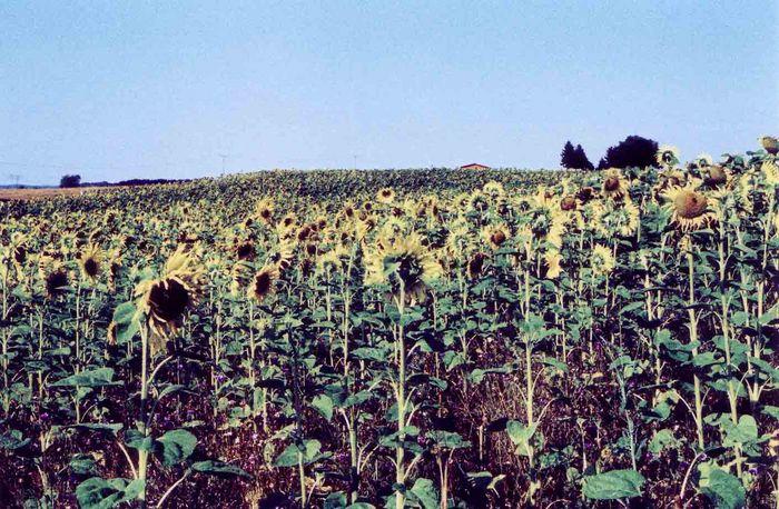 sonnenblumenfeld in der uckermark