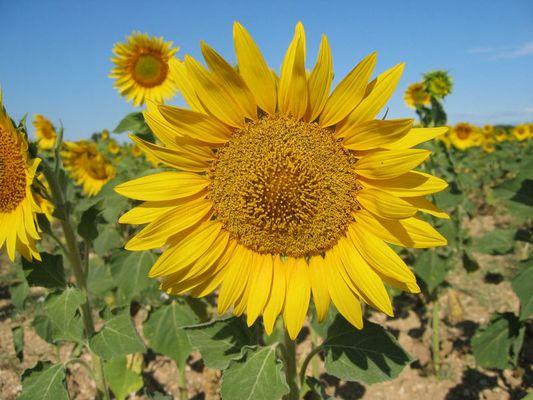 Sonnenblumenfeld in Frankreich
