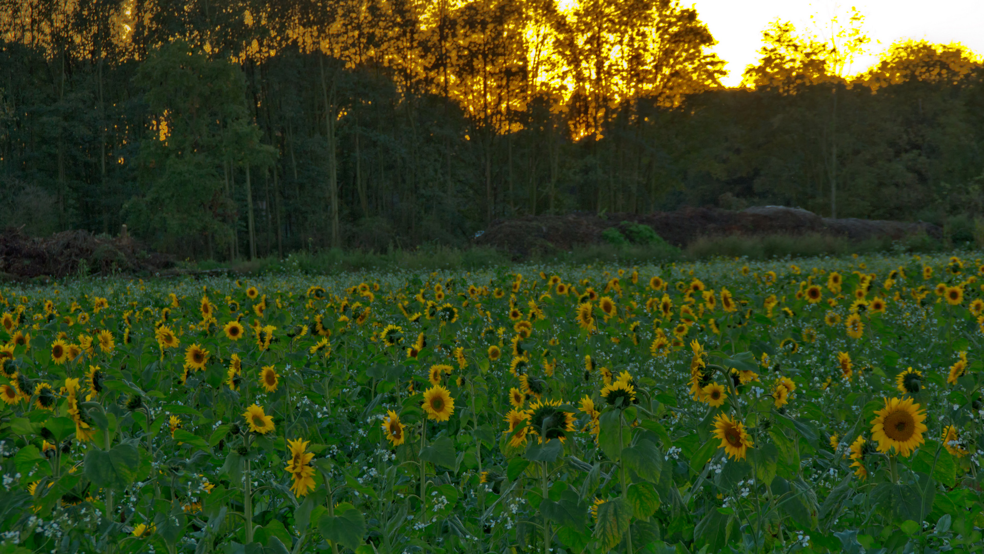Sonnenblumenfeld in Nersen