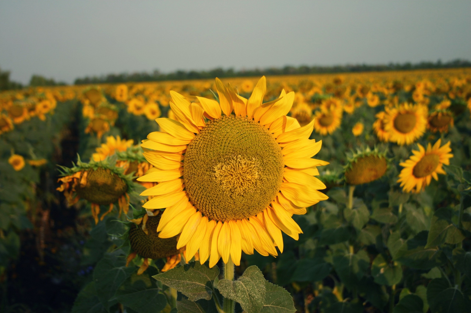 sonnenblumenfeld in russland