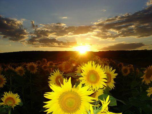 Sonnenblumenfeld vor Abendsonne
