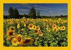 Sonnenblumen....(Helianthus annuus)......# 1