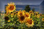 Sonnenblumen....(Helianthus annuus)......# 2