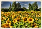 Sonnenblumen....(Helianthus annuus)......# 3