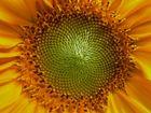 Sonnenblumenkern