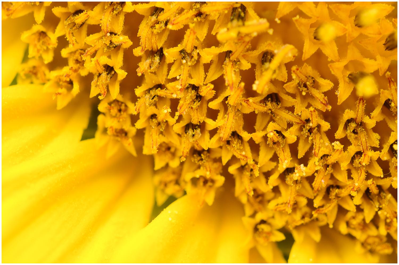 Sonnenblumenmakro