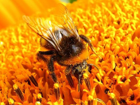 Sonnenblumenrast