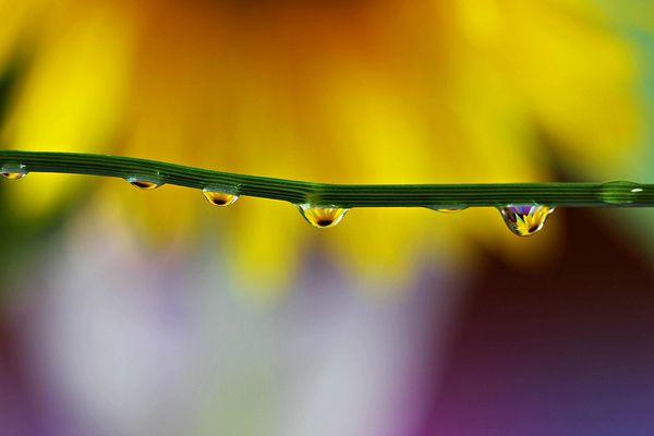 Sonnenblumentröpfchen