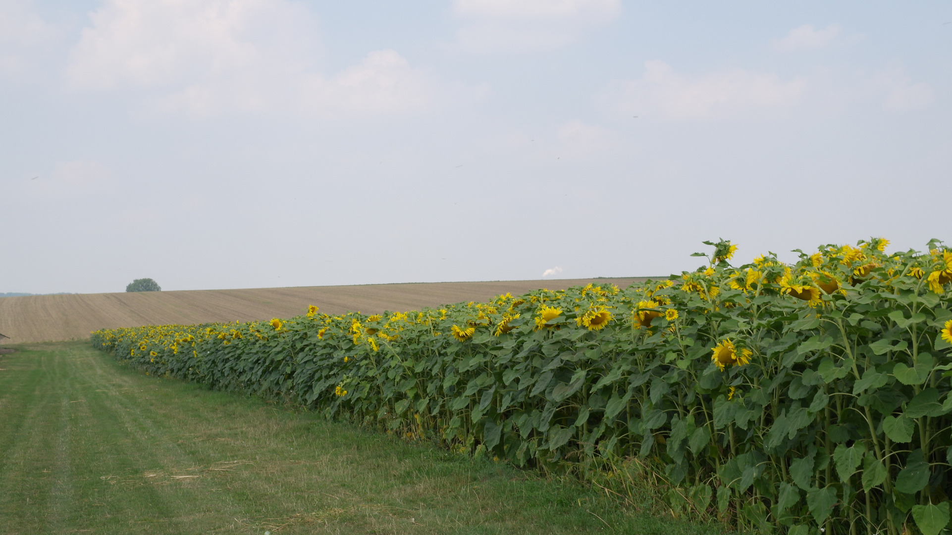 Sonnenblumenversuchsfeld