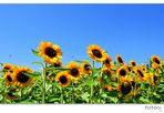 Sonnenblumenwiese