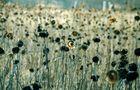 sonnenblumen_winter