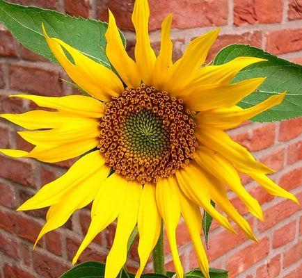 ***  Sonnenblumenzeit ***