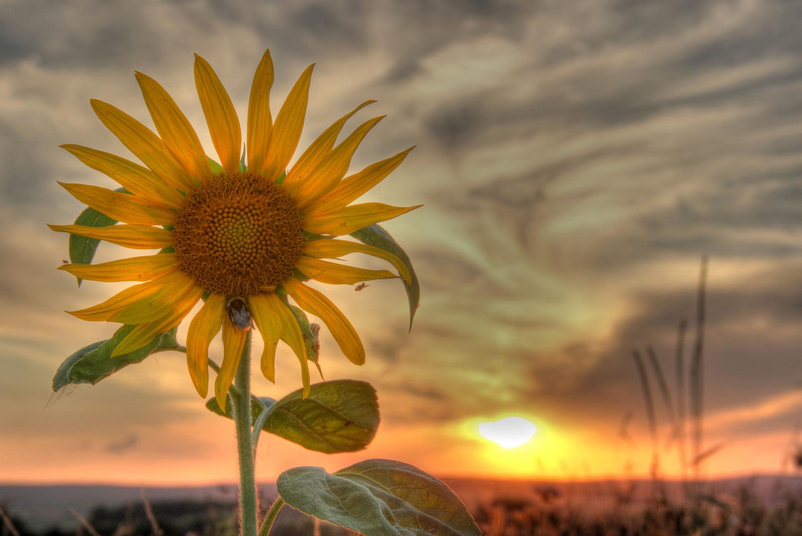 ~ Sonnenblumenzeit ~