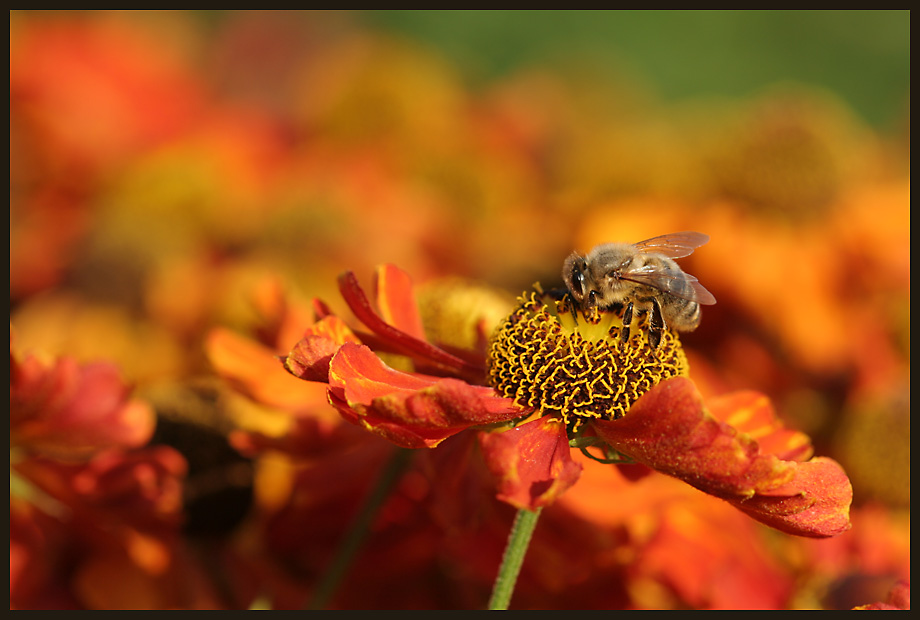 Sonnenbraut & Honigbiene 3