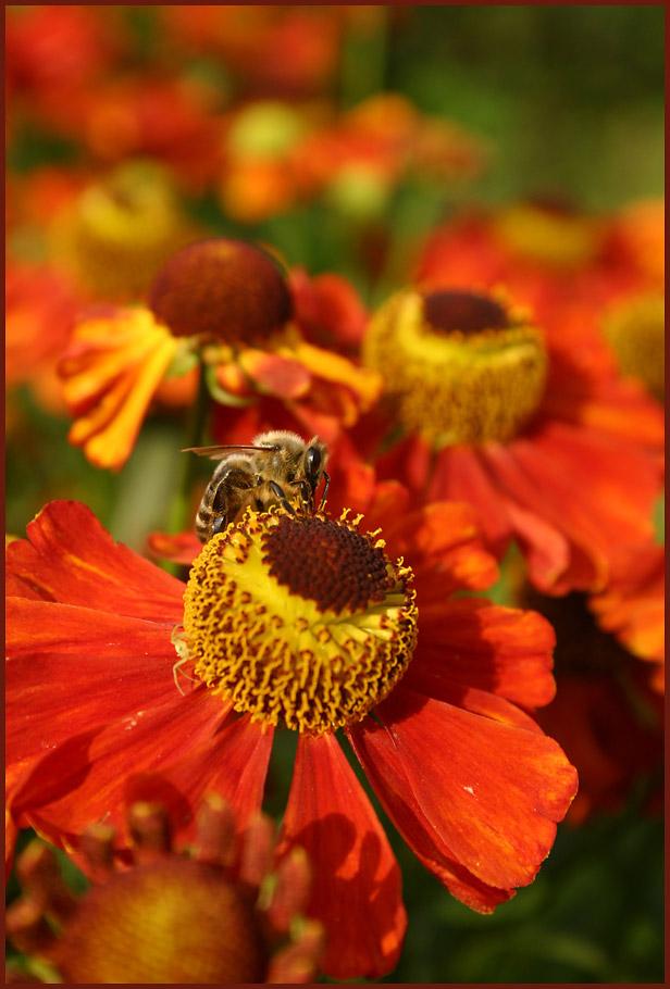 Sonnenbraut und Honigbiene