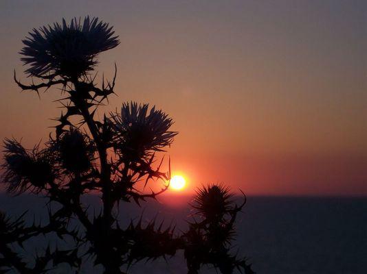 Sonnendistel