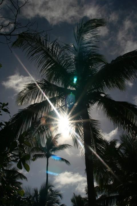 Sonnenpalme
