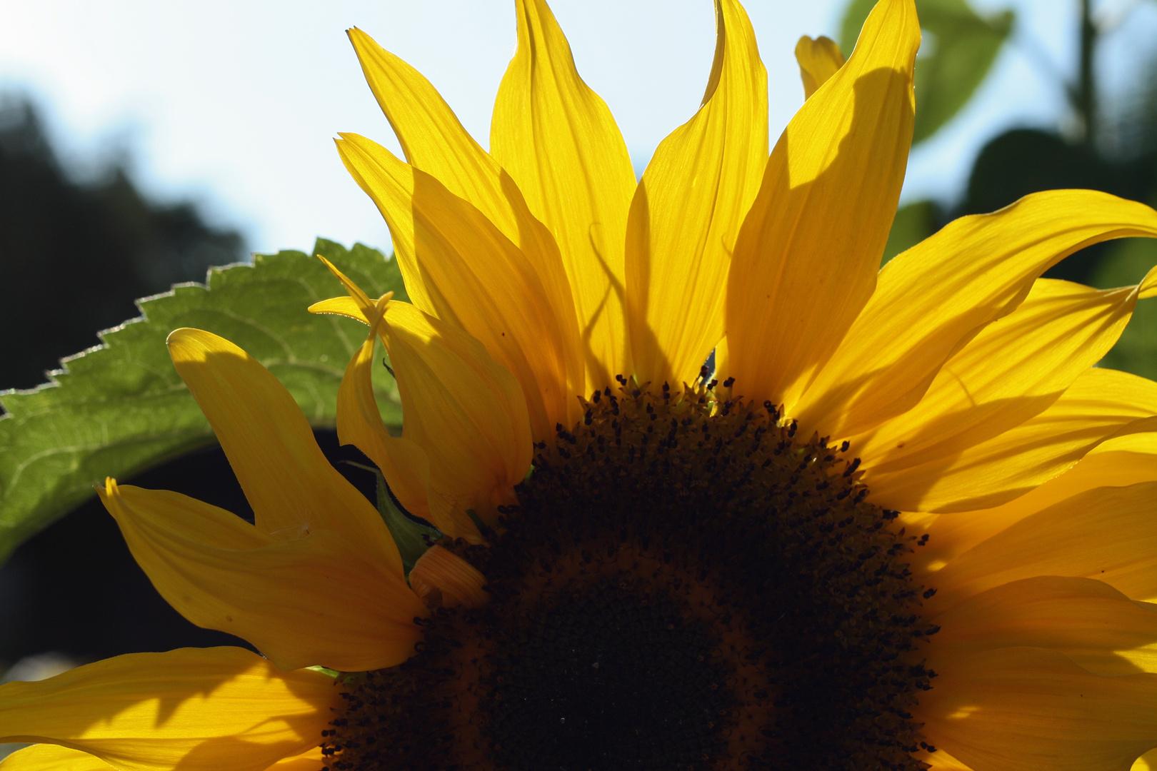 Sonnenrose