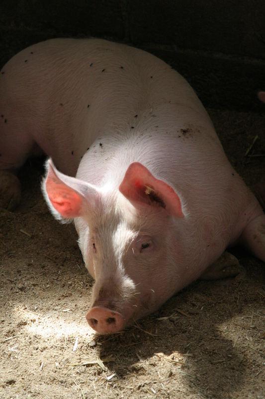 Sonnenschwein
