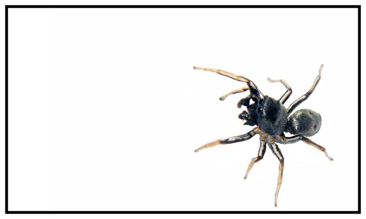 Sonnenspringspinne - Heliophanus cupreus Männchen