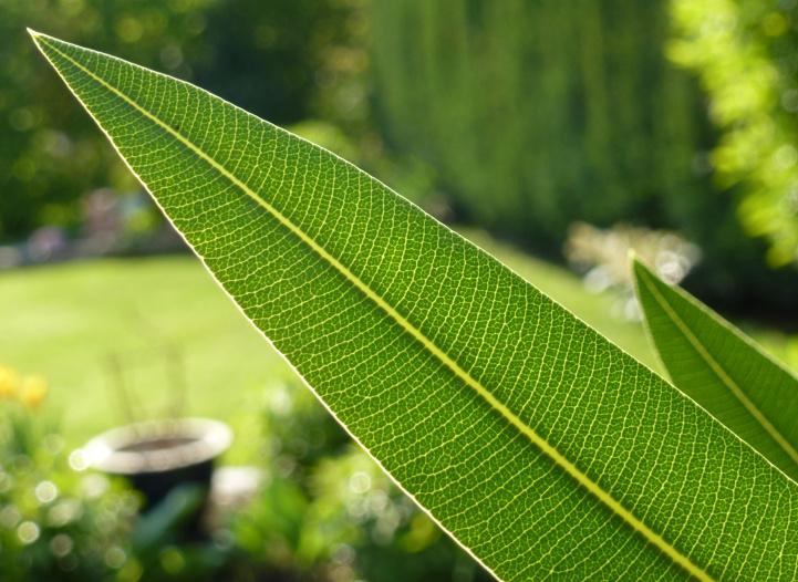 Sonnenstrahlen durchbrechen das Blatt eines Oleanderstrauchs
