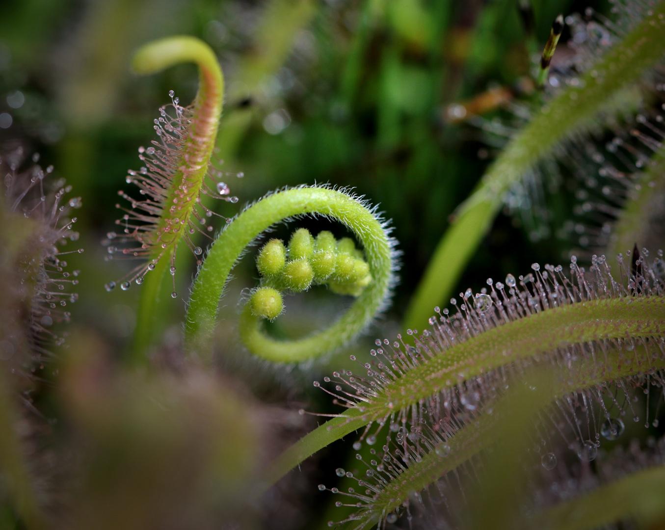 Sonnentau, eine neue Blüte entfaltet sich