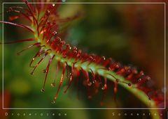 Sonnentau II / Droseraceae