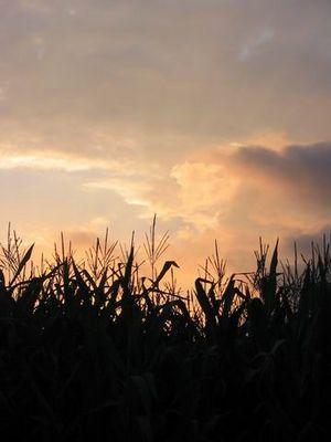 Sonnenuntergang am Maisfeld