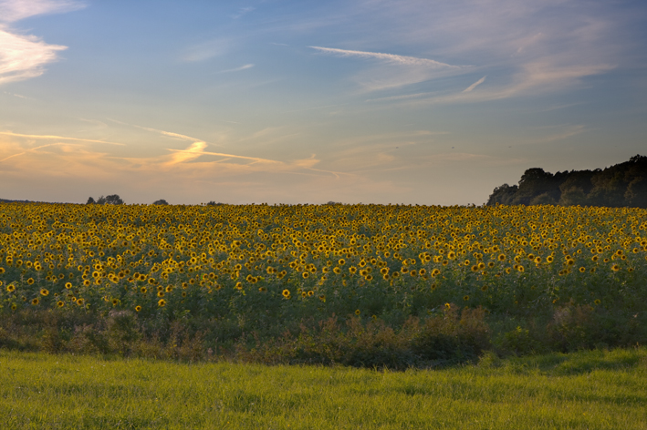 Sonnenuntergang auf dem Sonnenblumenfeld