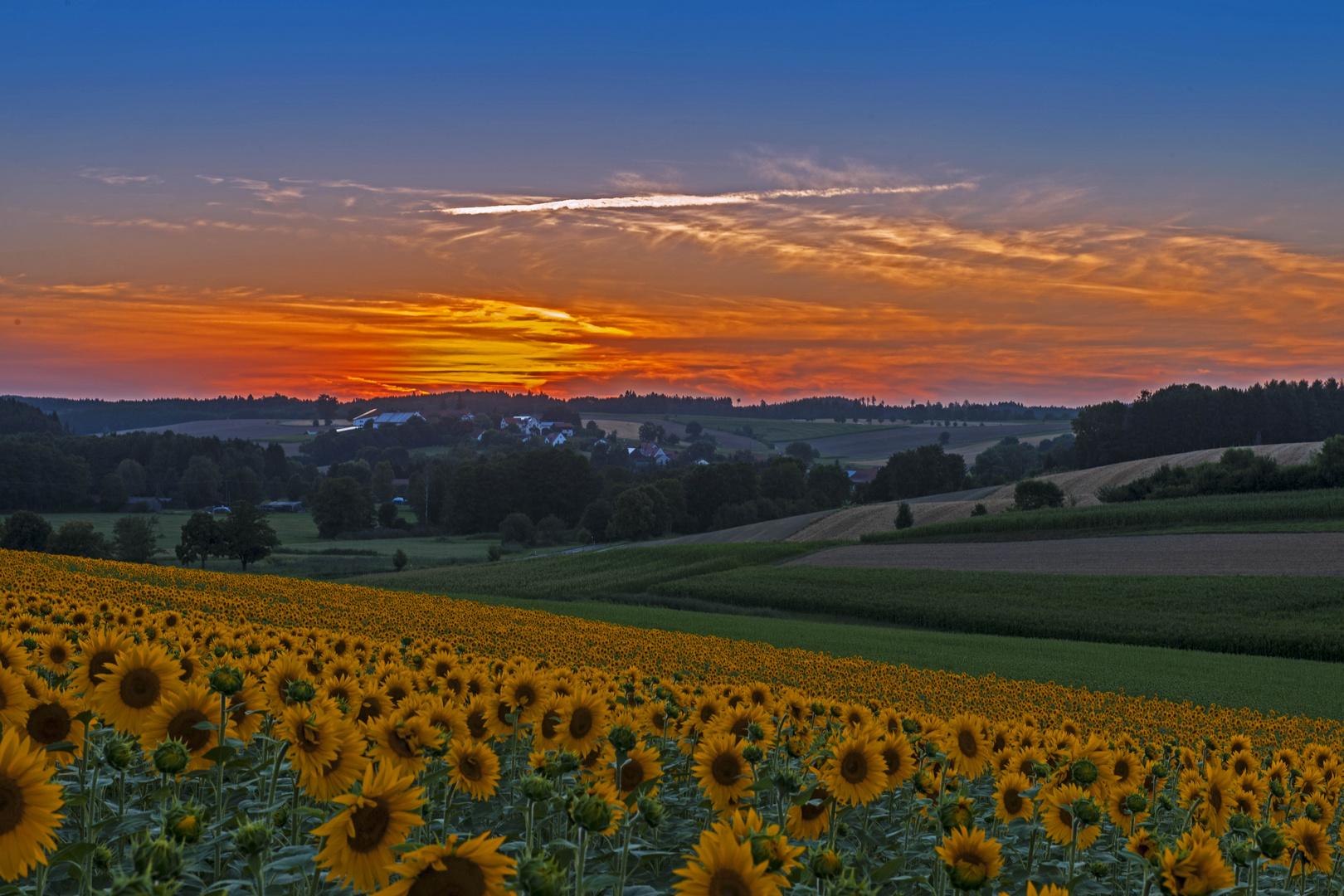 Sonnenuntergang beim Sonnenblumenfeld