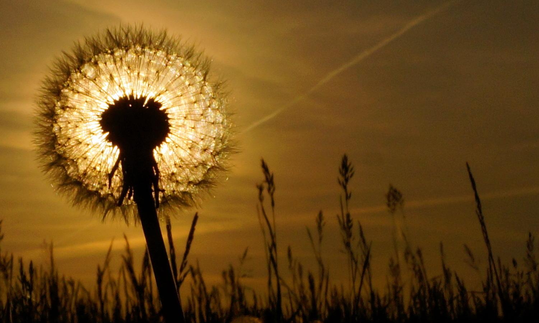 """Sonnenuntergang """"durch die Blume"""""""