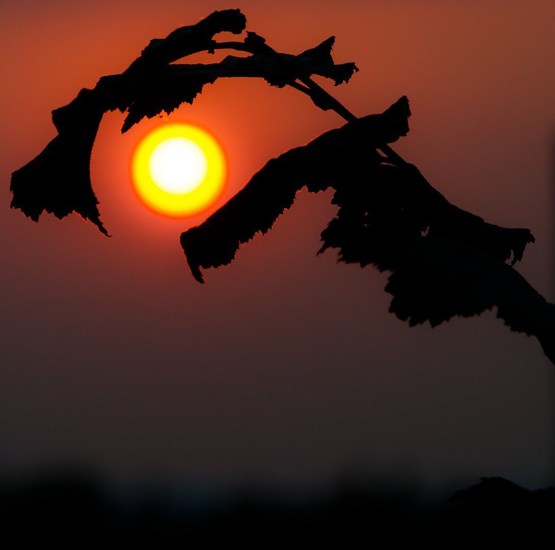 Sonnenuntergang durch die Pflanze