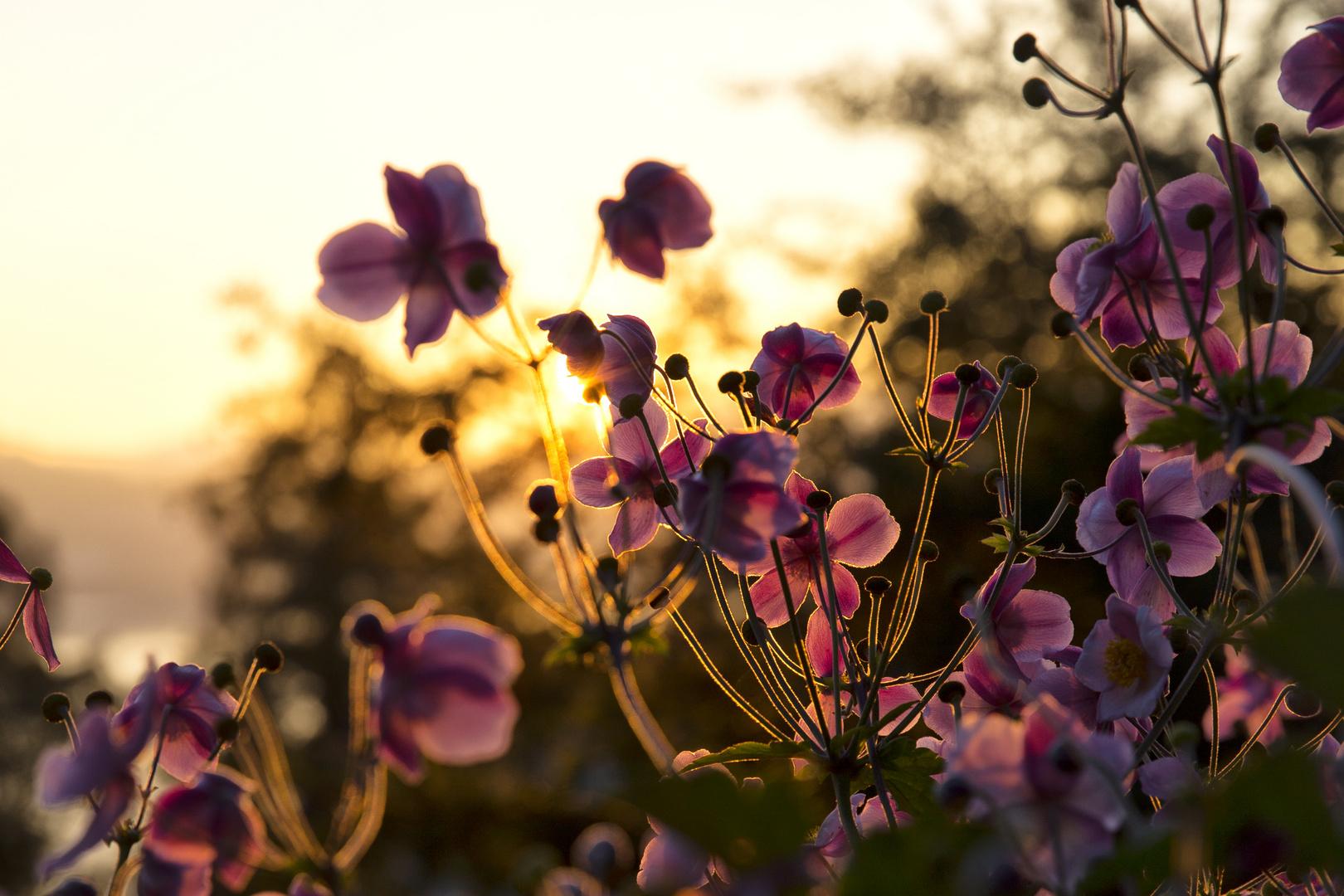 Sonnenuntergang hinter Blumen