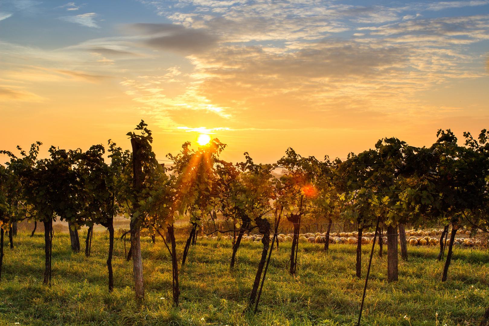 Sonnenuntergang im Weinberg