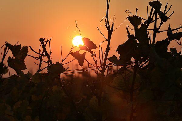 Sonnenuntergang in den Weingärten von Mönchhof im Burgenland