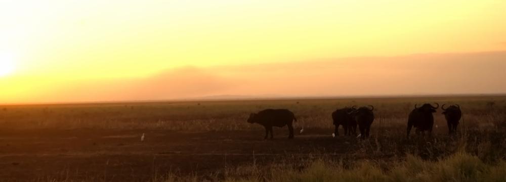 Sonnenuntergang mit Büffeln