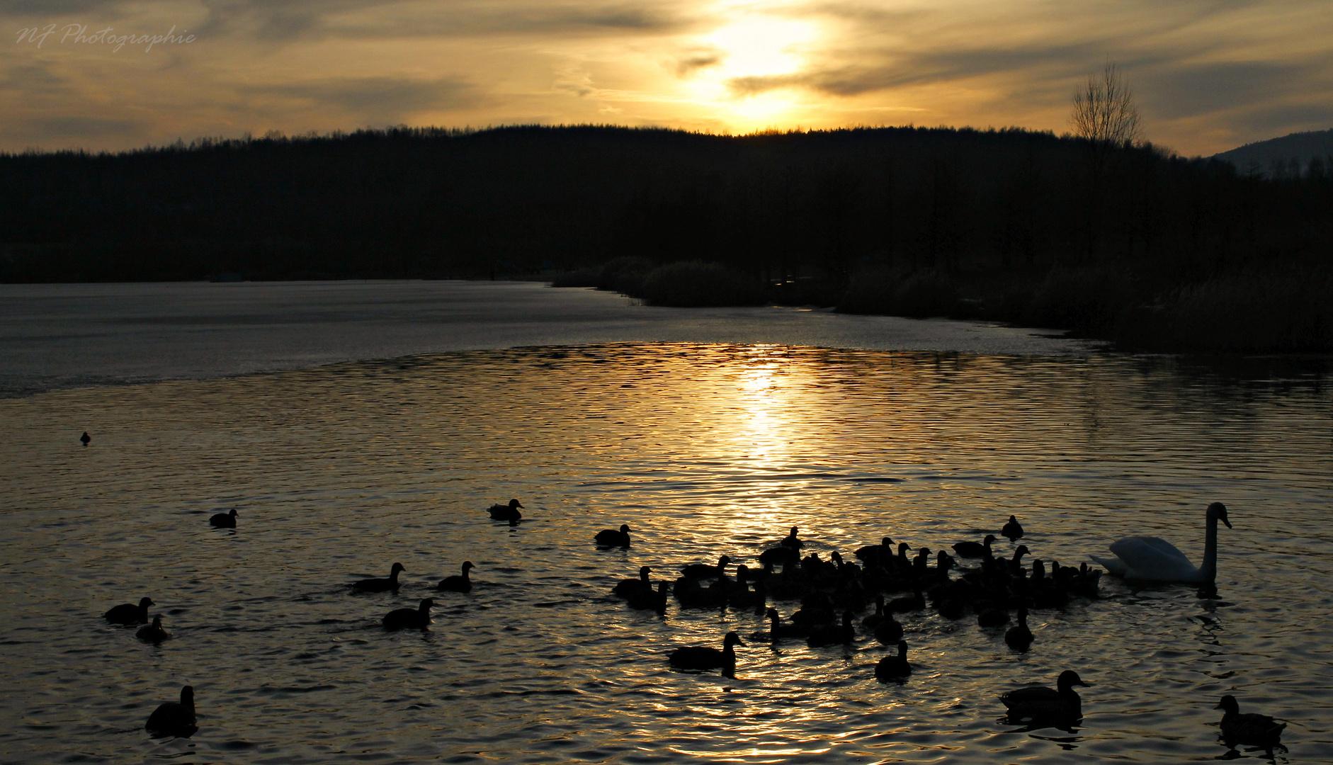 Sonnenuntergang mit Enten und einem Schwan