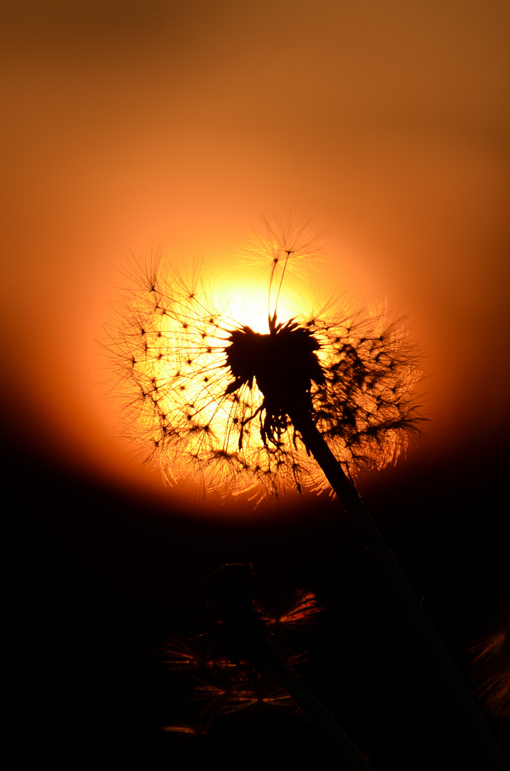 Sonnenuntergang mit Pusteblume