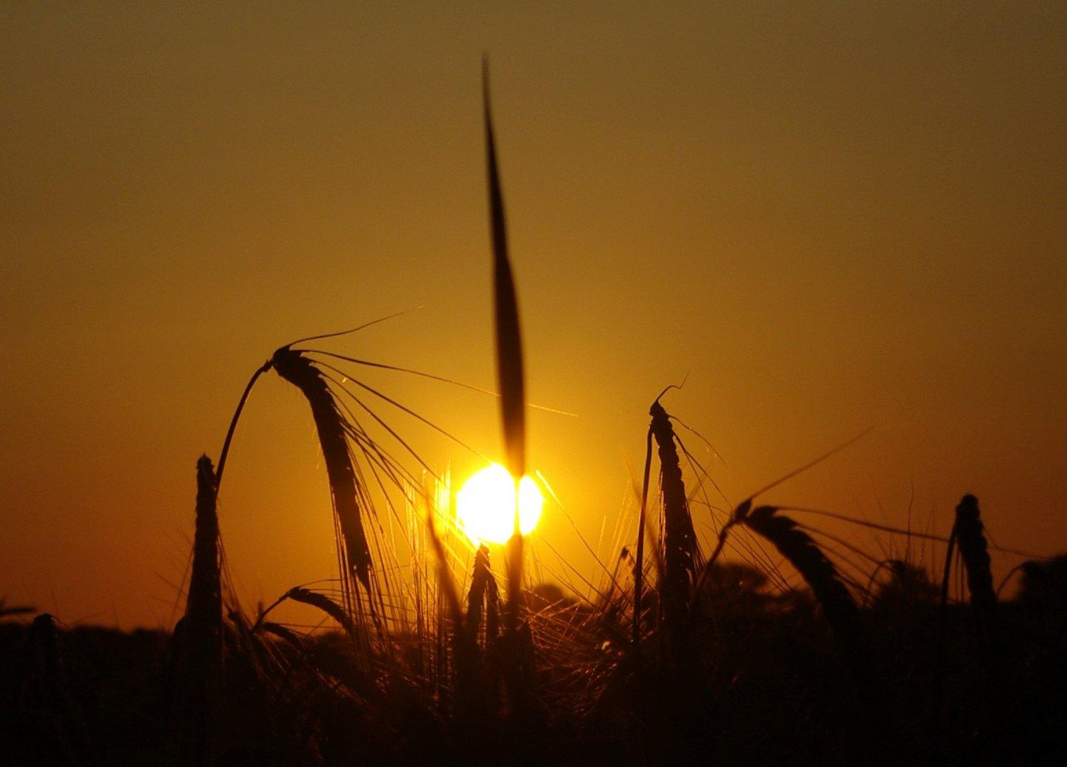Sonnenuntergang überm Kornfeld