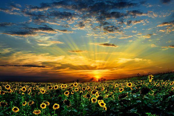 Sonnenuntergangsblumenfeld