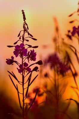 Sonnenuntergangsstimmung in der Wildblumenwiese