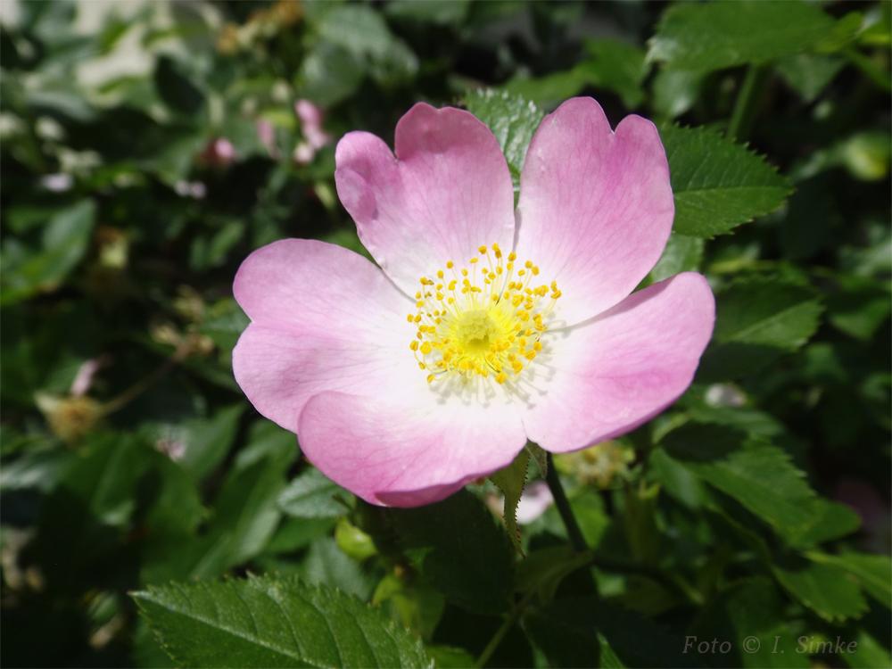 . Sonnige Rosengrüße .