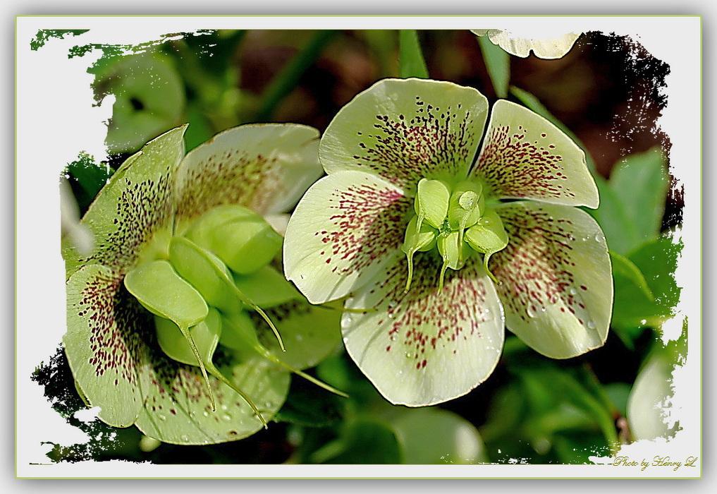 Sonntags - Blume