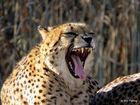 Soooo gelangweilt - Gepard